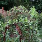 willow arbour growing